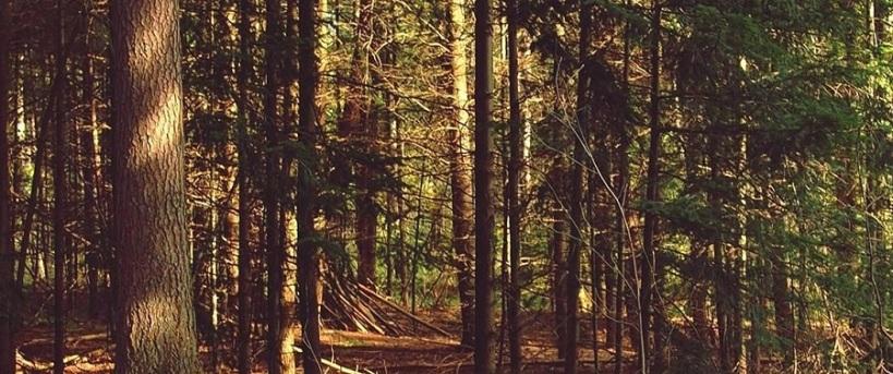 Imagen de un bosque de coníferas