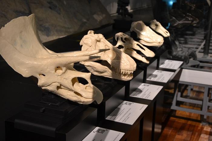 Estacion tactil con réplicas de cráneos de dinosaurios